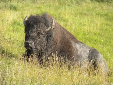 A buffalo lying by the side of the road.