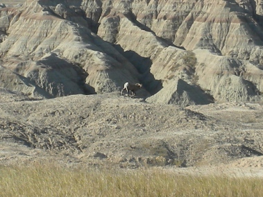 A bighorn sheep in Badlands