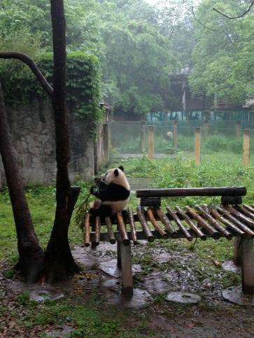 A young panda cavorting on a wooden platform at the Chongqing zoo