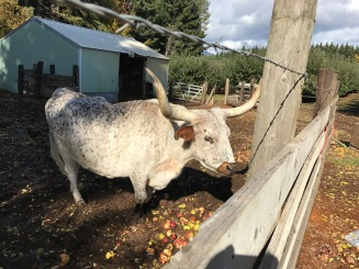 Carlos the orchard longhorn