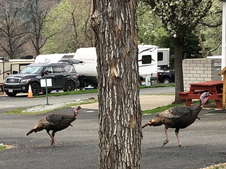 Wild turkeys in the RV park north of Redding